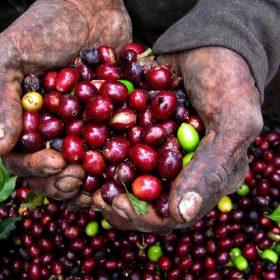Quy trình chế biến nguyên liệu cà phê