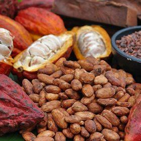 Vùng nguyên liệu Cacao